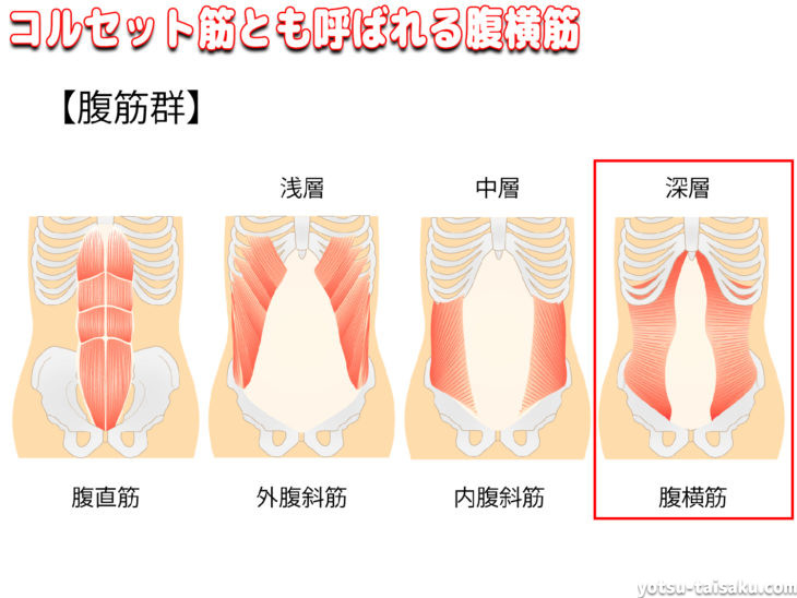 腰痛予防に重要なコルセット筋とも呼ばれる腹横筋