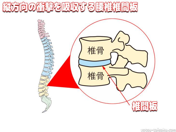 縦方向の衝撃を吸収する腰椎椎間板